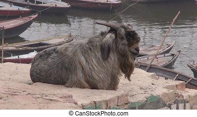old goat on Ganges river coast
