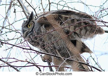 Great Horned Owl Preparing for Takeoff - A Great Horned Owl...