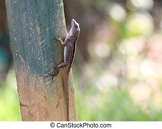 Brown Anole in Roatan - A Brown Anole climbing a post in...