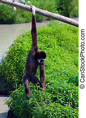 Gibbon Hanging Around - Gibbon swinging from a rail at Zoo.