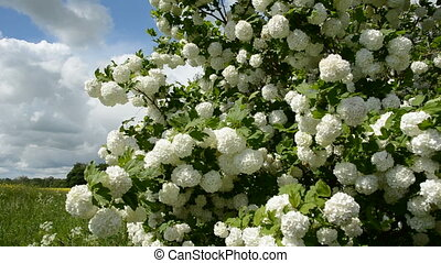 beautiful blossoming viburnum in spring garden