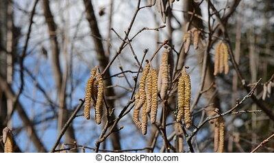 blur spring hazelnut catkins - blur early spring hazelnut...