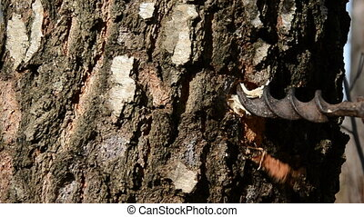 drilling birch trunk for sap - drilling old spring birch...