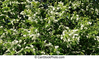 bird cherry blossoming branches and wind background