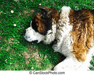 Beautiful Saint Bernard dog