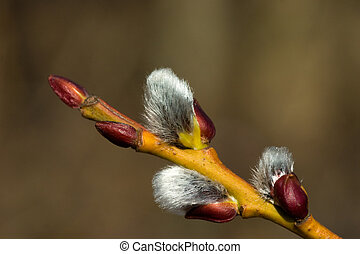 Pussy willow - Branch of a pussy willow with furry catkins...