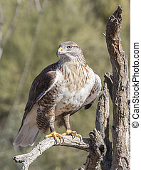 Ferruginous Hawl - Hawk at Arizona Sonora Desert Museum in...
