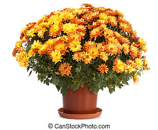 Chrysanthemums in flowerpot - A pot of beautiful orange...