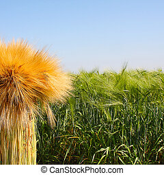 The green field of wheat. Breeding, cultivation of elite...