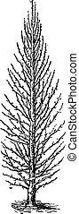 Pear Tree or Pyrus sp., vintage engraving - Pear Tree or...