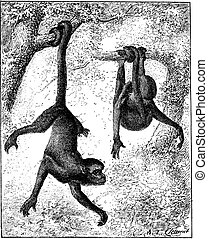 Spider Monkey or Ateles sp., vintage engraving - Spider...
