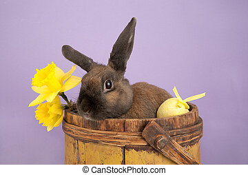 Easter bunny and daffodils - Brown rabbit in yellow bucket...