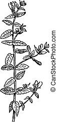 Skullcap of Scutellaria, vintage engraving.
