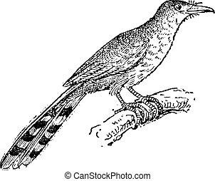 Hispaniolan Lizard Cuckoo or Coccyzus longirostris, vintage engraving