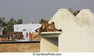 entellus monkeys on building top in Pushkar India