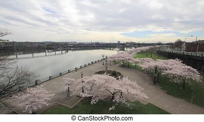 Cherry Blossoms in Spring PDX