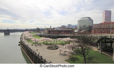Cherry Blossoms in Portland Oregon - Cherry Blossoms along...