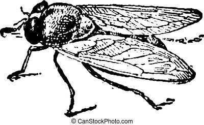 Common Fruit Fly or Drosophila melanogaster, vintage...
