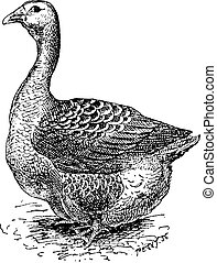 Toulouse Goose, vintage engraving - Toulouse Goose, vintage...