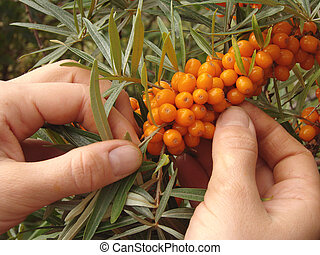 harvesting crops - hands cropping sea buckthorn berries from...