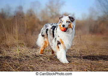 Beautiful Australian Shepherd walking - Beautiful young...