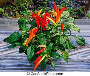 Colorful of chili