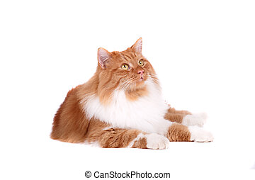 red cat isolated over white background