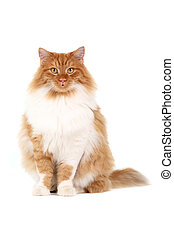 red cat sitting - red cat isolated over white background