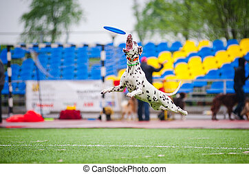 Frisbee Dalmatian dog catching