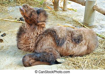 Bactrian camel eatting - A beautiful new bone baby bactrian...