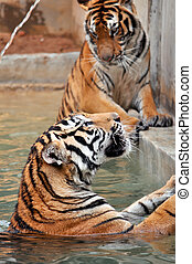 Bengal Tiger - Tigers live alone and aggressively scent-mark...