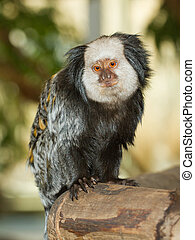 Four, Geoffroy's, Tufted-eared, Marmoset