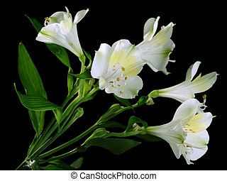 Alstroemeria - White alstroemeria on the black background