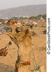 Camel Gets Beauty Treatment - Camel protesting at having its...