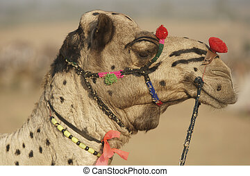 Pushkar Camel - Portrait of a decorated camel at the annual...