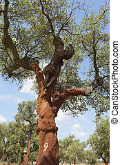 Cork trees - quercus suber - recently stripped, Alentejo,...