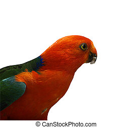 king parrot Alisterus scapularis isolated - australian male...