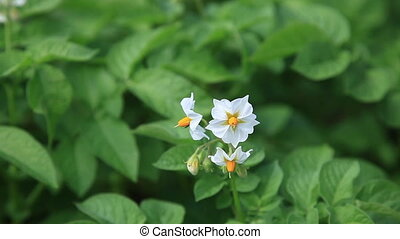 White flower of potato plant