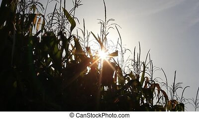 Maize plants against a blue sky - The tops of green maize...