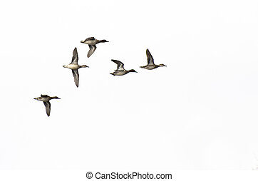 Flock of Green-Winged Teals Flying on a White Background