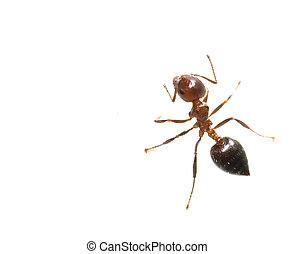 蟻, マクロ, 白, 背景