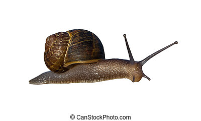 Garden Land Snail - Terrestrial Helix snail with...