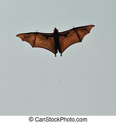 Fruit bat, Sri Lanka