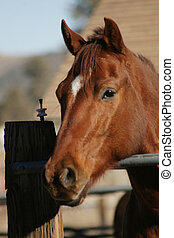 Brown Horse with head over a rail on a ranch in Big Bear,...