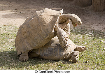 Animal Love - Aldabra Tortoises Special Moment, Daylight...
