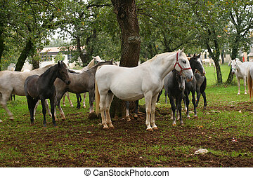 Horses on pasture in Lipica, Slovenia