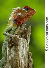 Male green garden lizard (Calotes calotes) - Green garden...