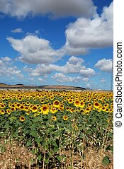 Sunflower field, Andalusia, Spain. - Sunflower field, Medina...