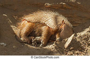 Sleeping armadillo Chaetophractus villosus in a dutch zoo