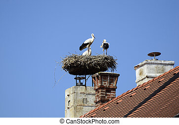Zoology - white stork nestlings on roof in Rust village, a...